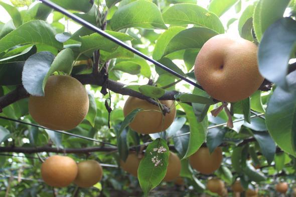 戸塚で梨&葡萄狩り体験!芝口農園に行ってきた!