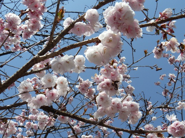 山桜totsu