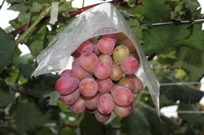国道①脇の芝口果樹園にて食べごろの梨&ぶどう狩り♪