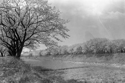 次の戸塚100年 vol.2 柏尾川の桜並木